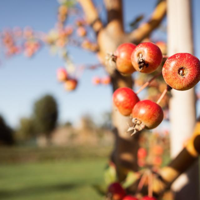 """Paradise Apples Fruit"" stock image"