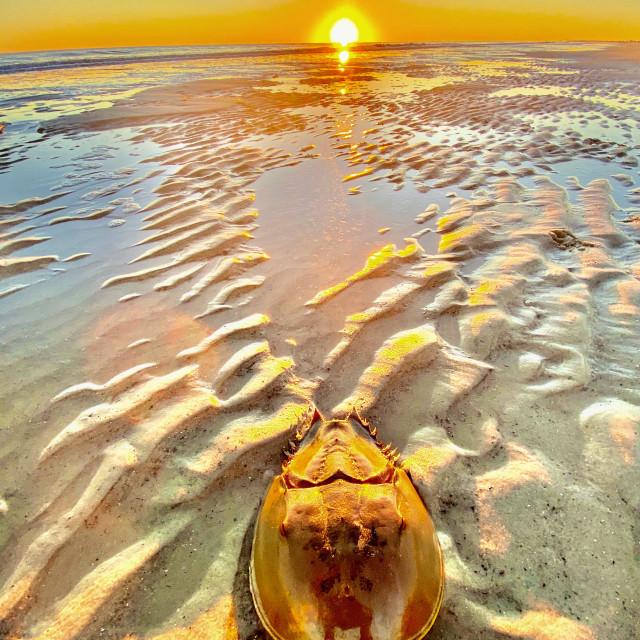 """""""Horseshoe crab at sunset"""" stock image"""