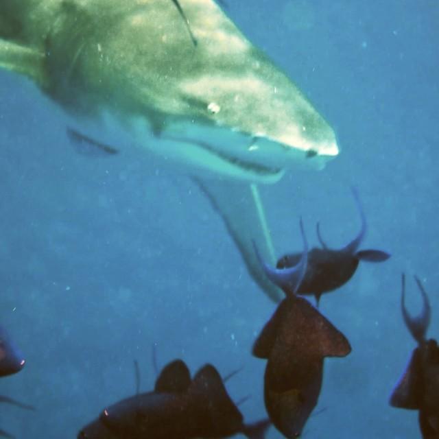 """""""Lemon shark"""" stock image"""