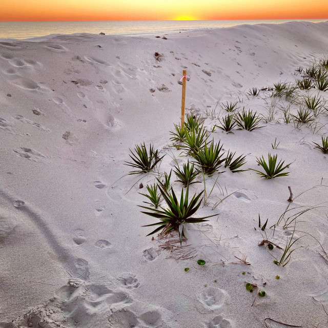 """""""Yuccas at sunset"""" stock image"""