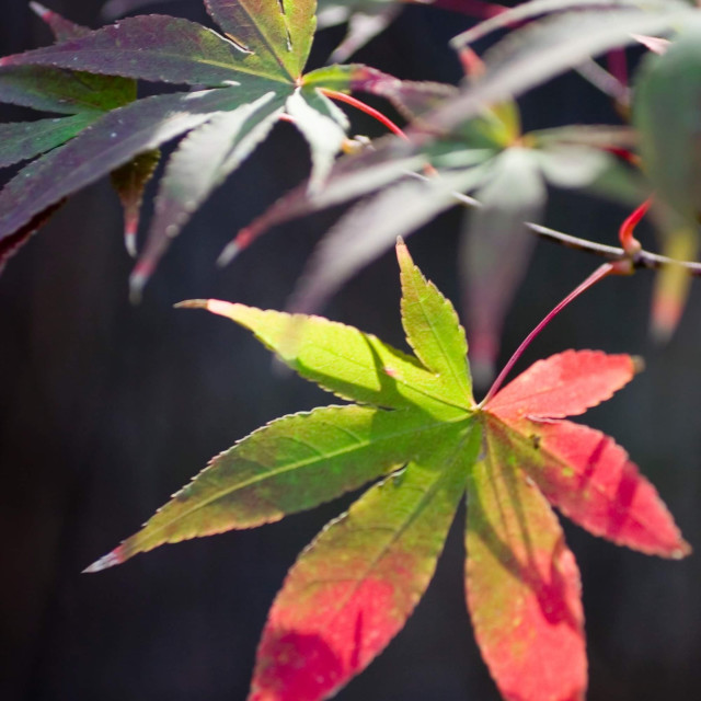 """Japanese maple leaves 2"" stock image"