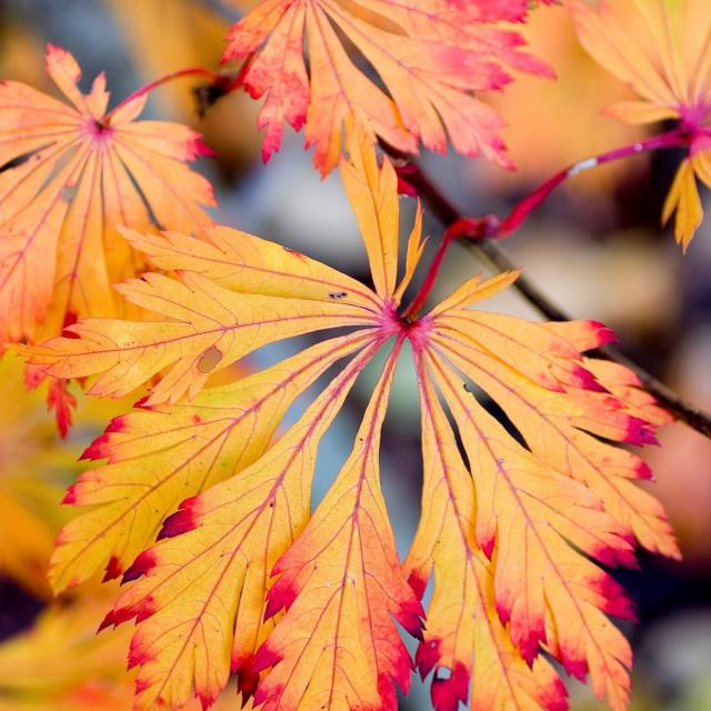 """Japanese maple leaves 3"" stock image"