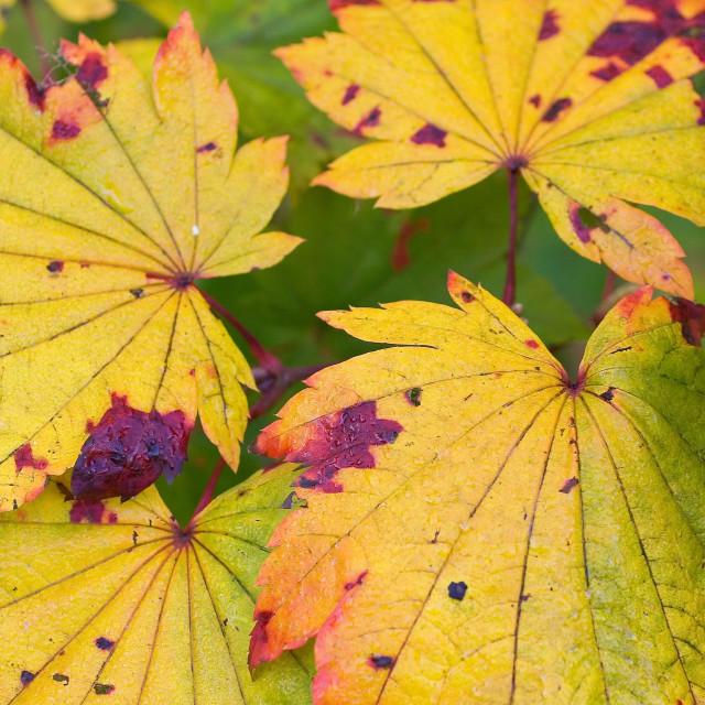 """Grape leaf Japanese maple"" stock image"