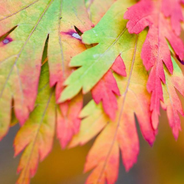 """Japanese maple leaves 4"" stock image"