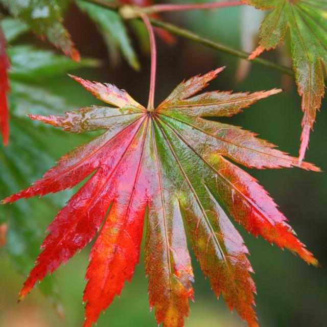 """""""Japanese maple leaf"""" stock image"""