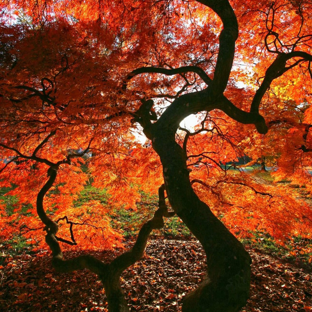 """Japanese maple dissectum"" stock image"