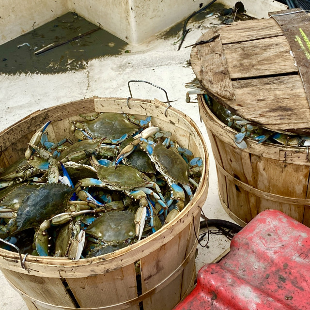 """Blue crab haul"" stock image"