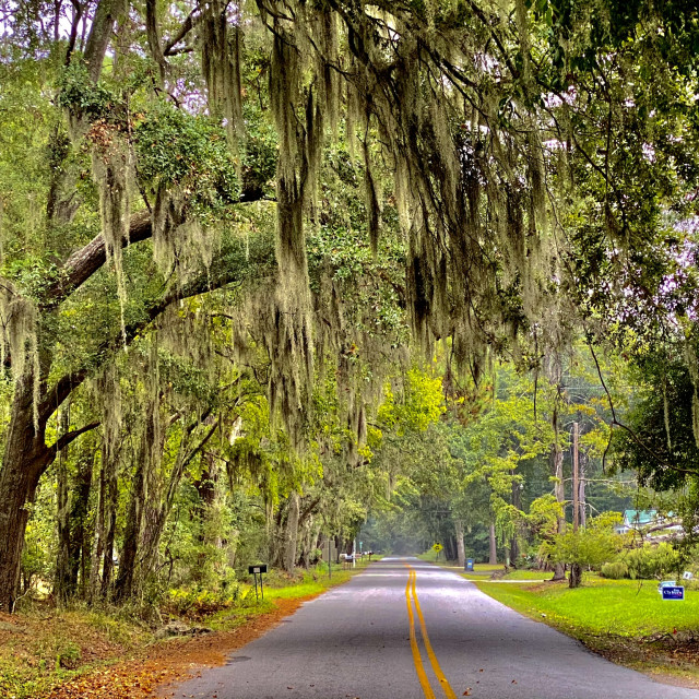 """""""Live oaks and Spanish moss"""" stock image"""