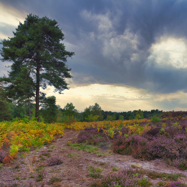 """""""Early autumn colours and heather on Iping and Stedham Common, We"""" stock image"""