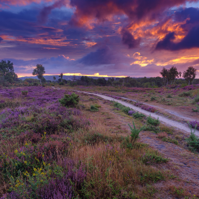 """""""Sunrise over the heather of Iping Common, South Downs National P"""" stock image"""