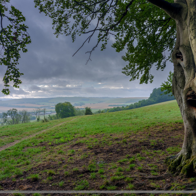 """""""Guardi-ENT of the footpath! Characterful ancient beech tree on"""" stock image"""