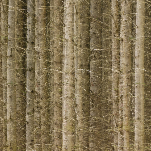 """""""Trees in a row"""" stock image"""