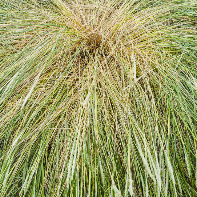 """Straw of grass"" stock image"