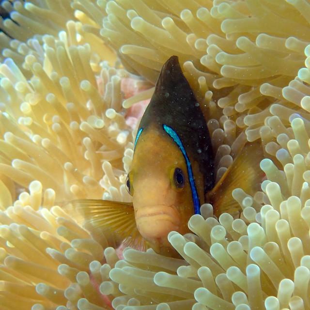 """Clown fish and anemone"" stock image"