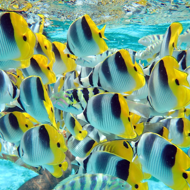 """""""Butterfly fish, French Polynesia"""" stock image"""