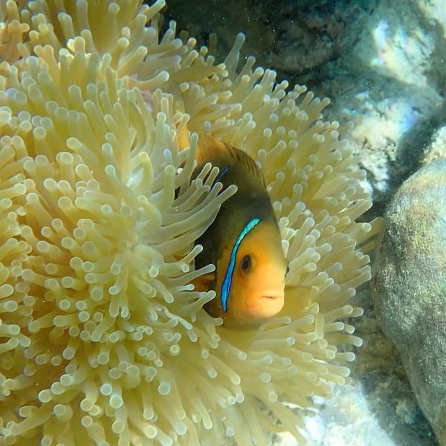 """Clown fish and anemone 2"" stock image"