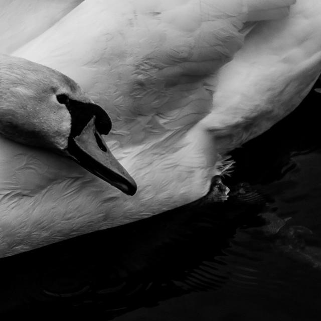 """""""Swan Grooming"""" stock image"""