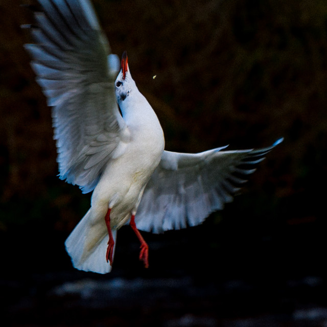 """Gull Stretching"" stock image"