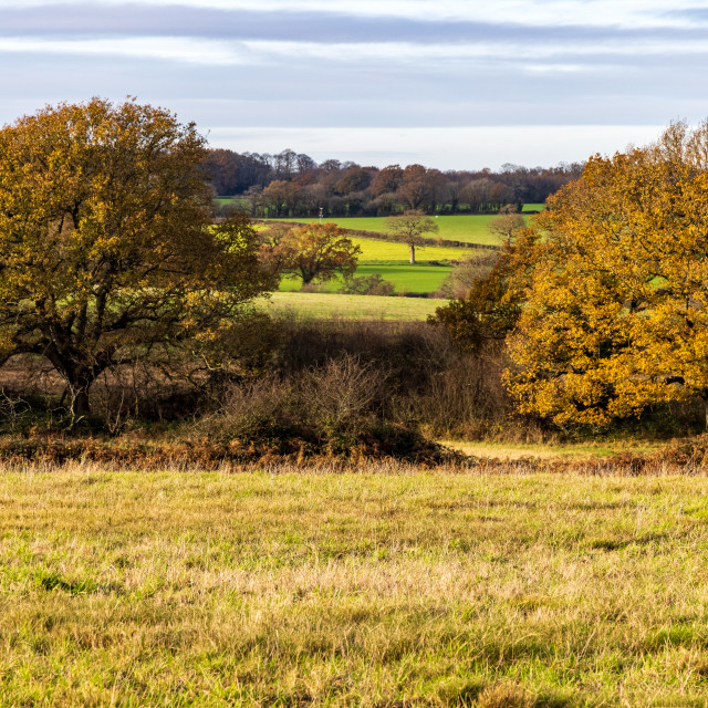 """Oak trees in Autumn colours, Purbrook Heath"" stock image"