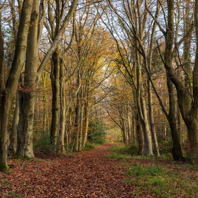 """Footpath through Sawyer's Wood"" stock image"