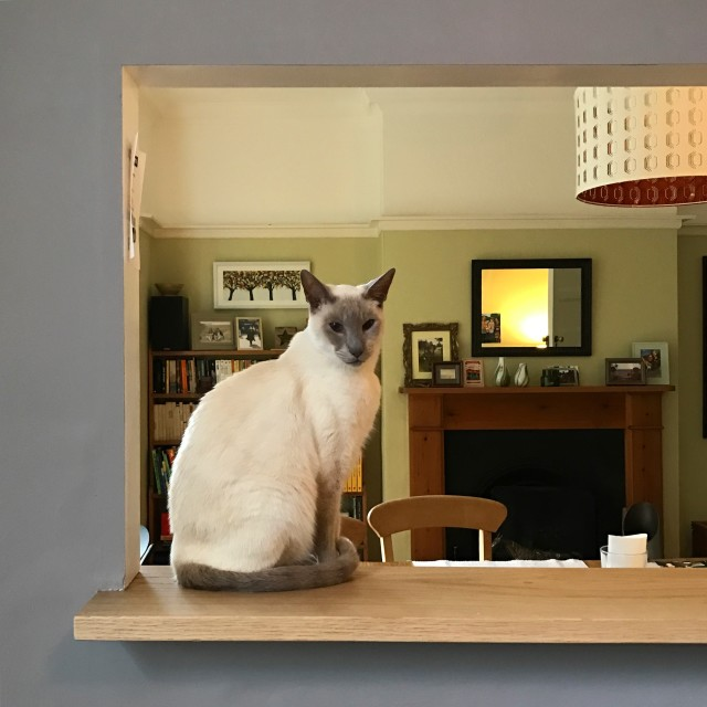 """""""Siamese cat in a hatch"""" stock image"""