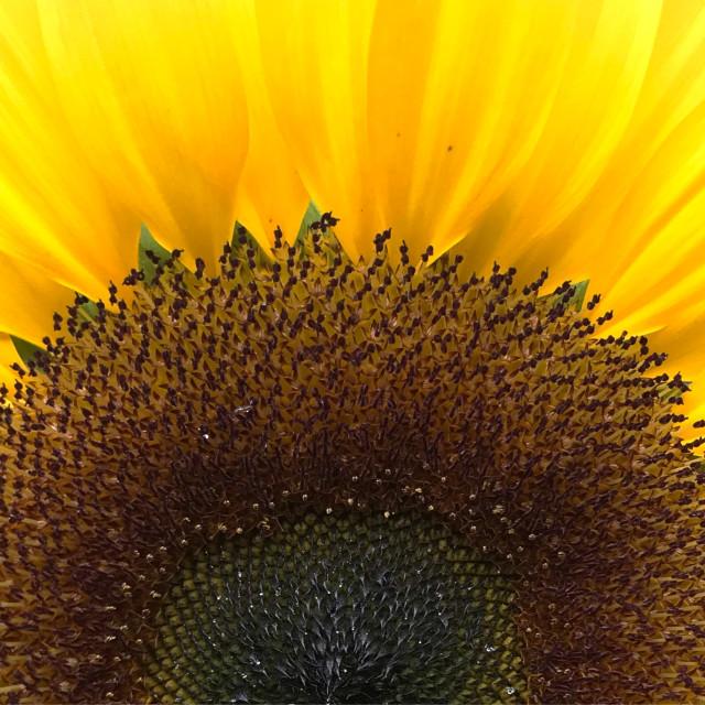 """Sunflower closeup"" stock image"