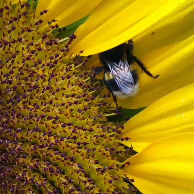 """Bee hiding in sunflower"" stock image"