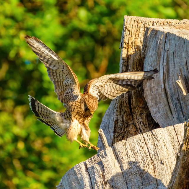 """Common Kestrel (Falco tinnunculus) female landing on top of nesting tree,..."" stock image"