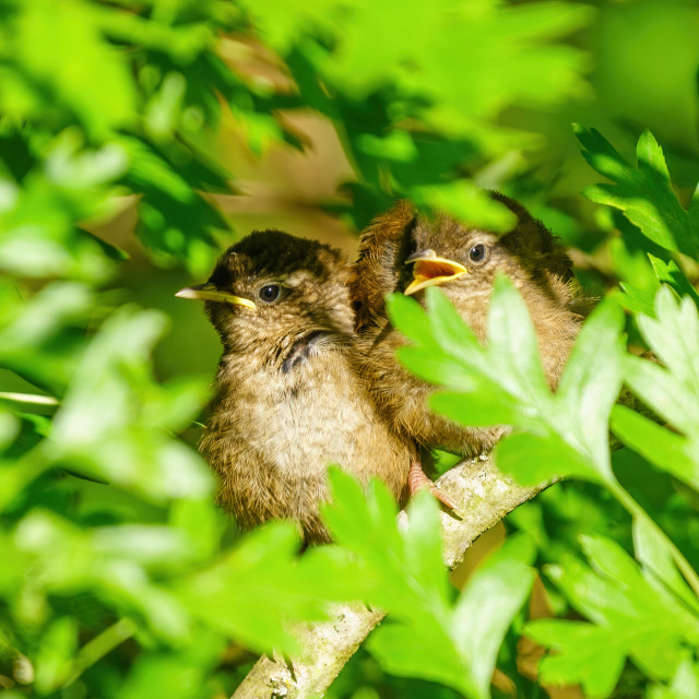 """""""Pair of juvenile Wren (Troglodytes troglodytes) perched together deep in a..."""" stock image"""