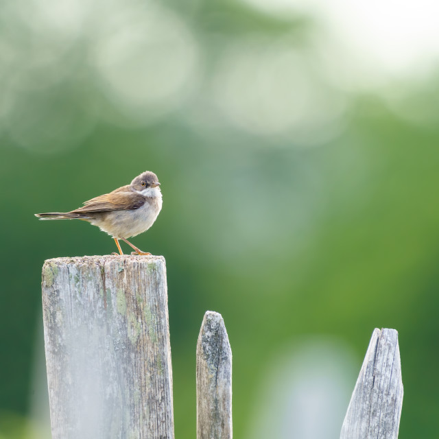 """""""Common Whitethroat (Sylvia communis) sitting on a fence, taken in London,..."""" stock image"""