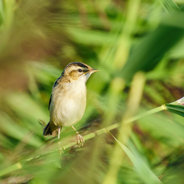 """""""Sedge Warbler (Acrocephalus schoenobaenus) perched on a reed on a summer day,..."""" stock image"""