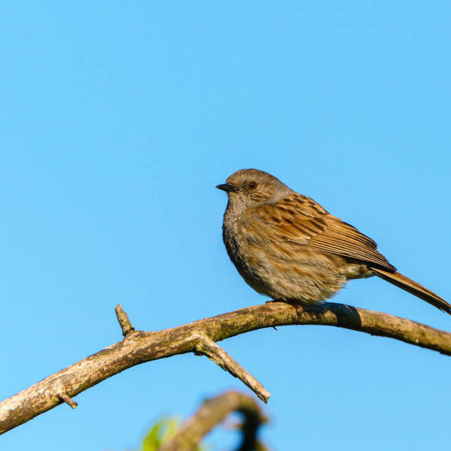 """""""Dunnock (Prunella modularis) perched on a branch against blue sky, taken in..."""" stock image"""