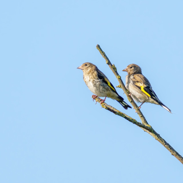 """""""Pair of female European Goldfinch (Carduelis carduelis) perched on a twig,..."""" stock image"""