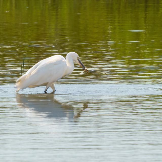 """Little Egret (Egretta garzetta) with a captured newt in it's beak, taken in..."" stock image"