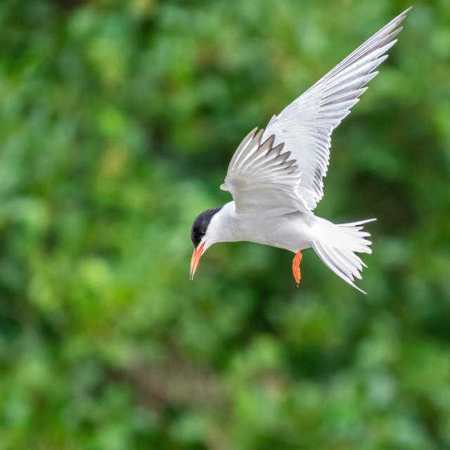 """""""Common Tern (Sterna hirundo) hovering in order to search for food below,..."""" stock image"""