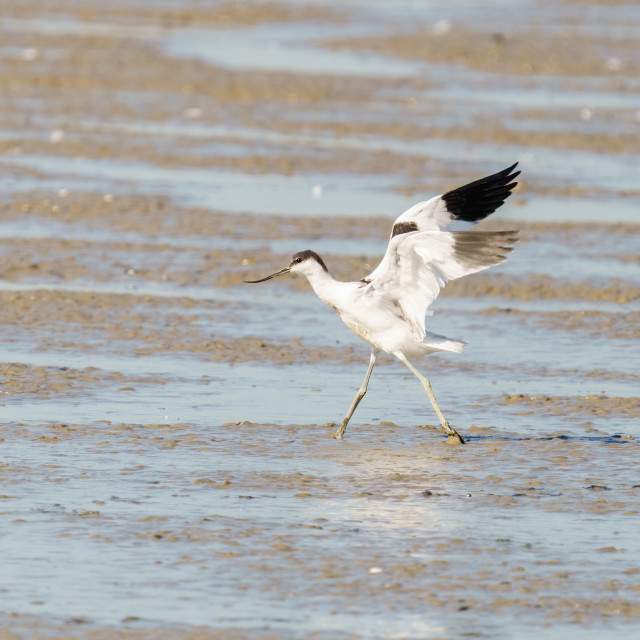 """Pied Avocet (Recurvirostra avosetta) on muddy riverbank, with it's wings..."" stock image"