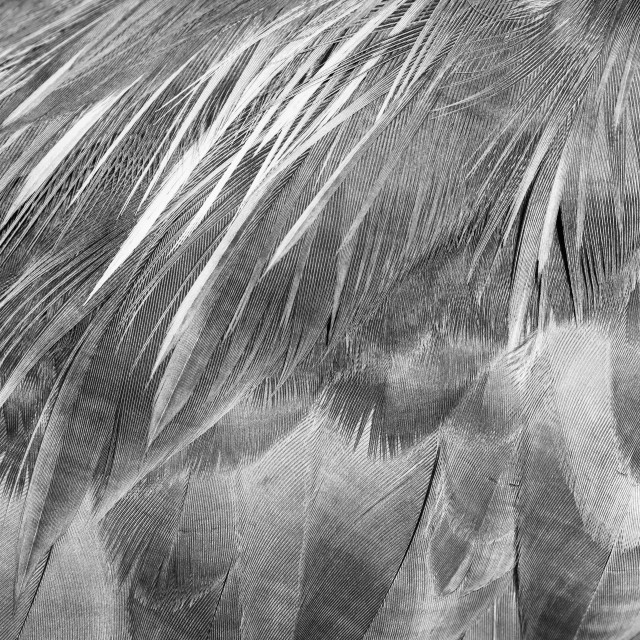 """""""Grey Heron (Ardea cinerea) feather detail in black and white, taken in..."""" stock image"""