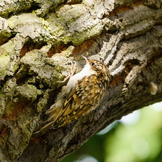 """Treecreeper (Certhia familiaris) perched on side of tree in London, England"" stock image"
