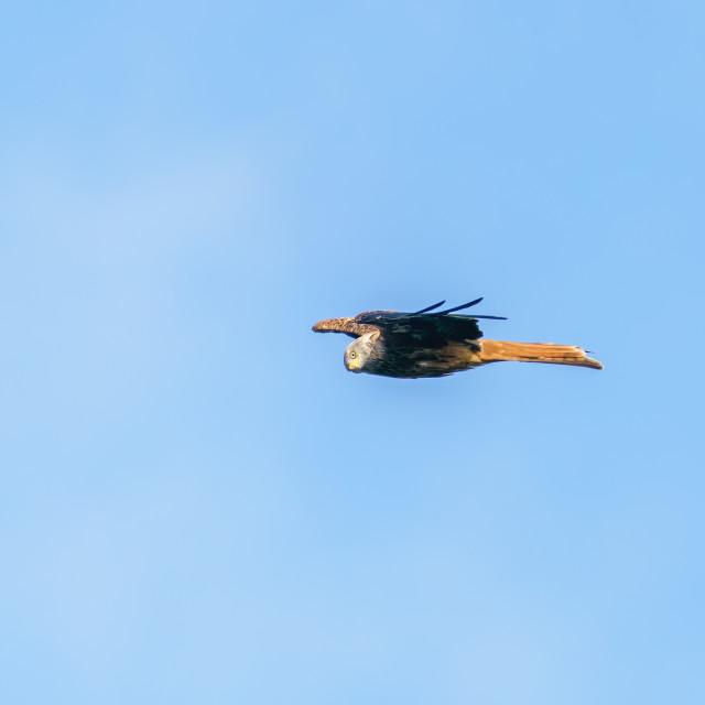 """""""Red Kite (Milvus Milvus) in flight over west London, looking towards camera"""" stock image"""