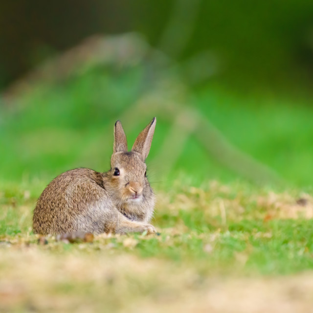 """""""European Rabbit (Oryctolagus cuniculus) with an amusing expresion on it's..."""" stock image"""