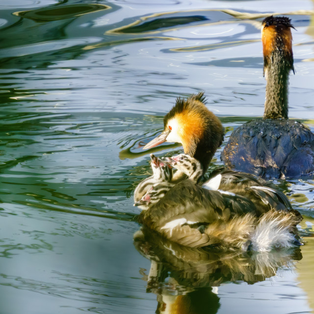 """""""Great Crested Grebe (Podiceps cristatus) chicks looking up expectantly at..."""" stock image"""