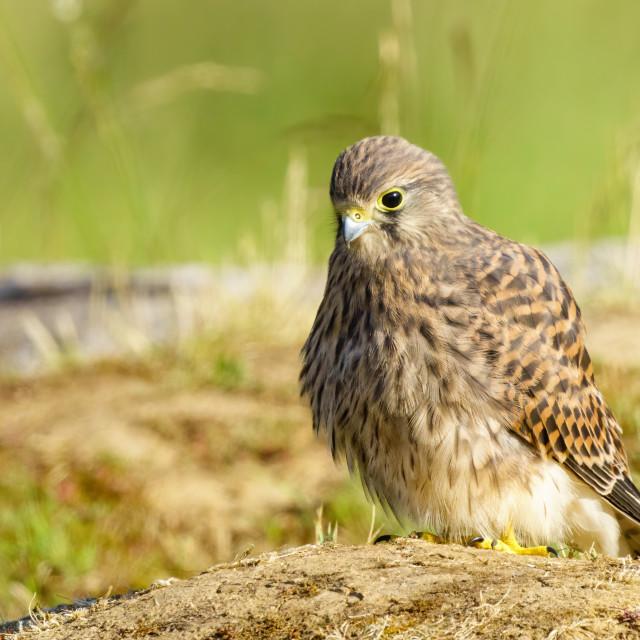 """Common Kestrel (Falco Tinnunculus) juvenile investigating area near it's nest..."" stock image"