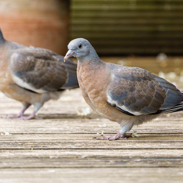 """Pair of Common Wood Pigeon (Columba palumbus) juveniles on some garden..."" stock image"