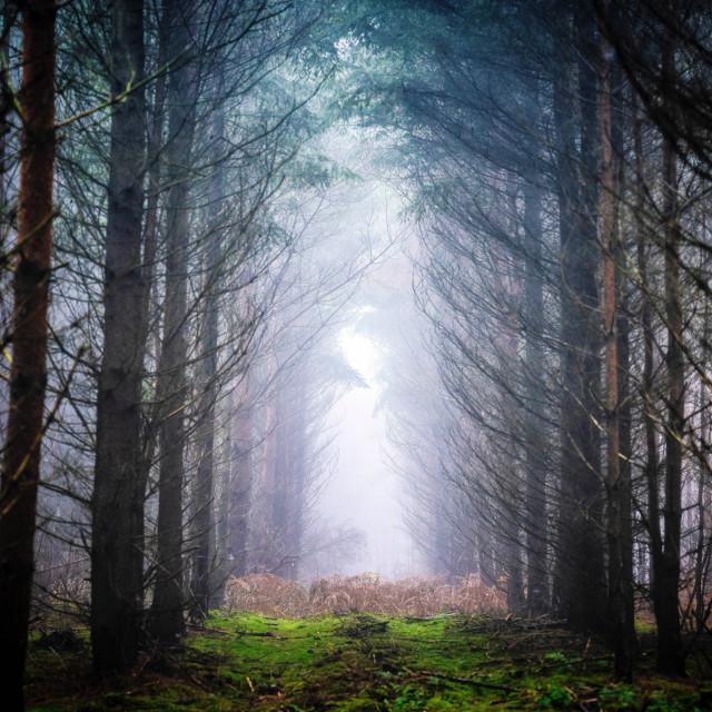 """Walking into the Fog, Thetford Forest, High Lodge, Brandon UK."" stock image"