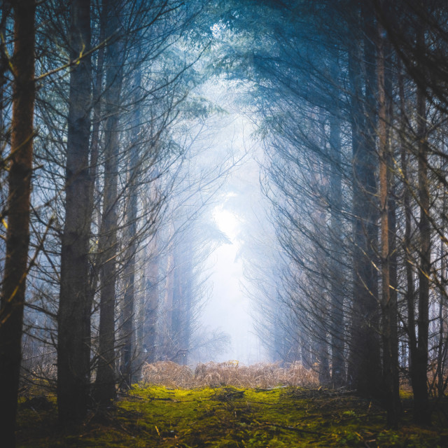 """""""A walk through the fog from Thetford Forest, High Lodge, Brandon UK."""" stock image"""