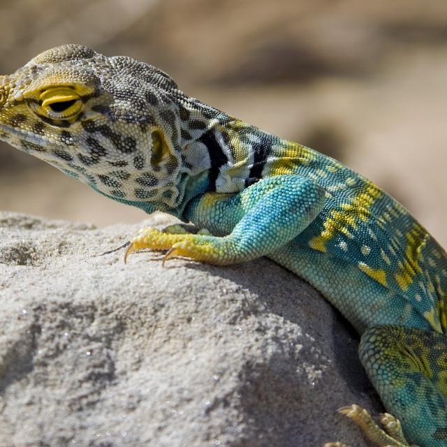 """Lizard, Chaco Canyon"" stock image"