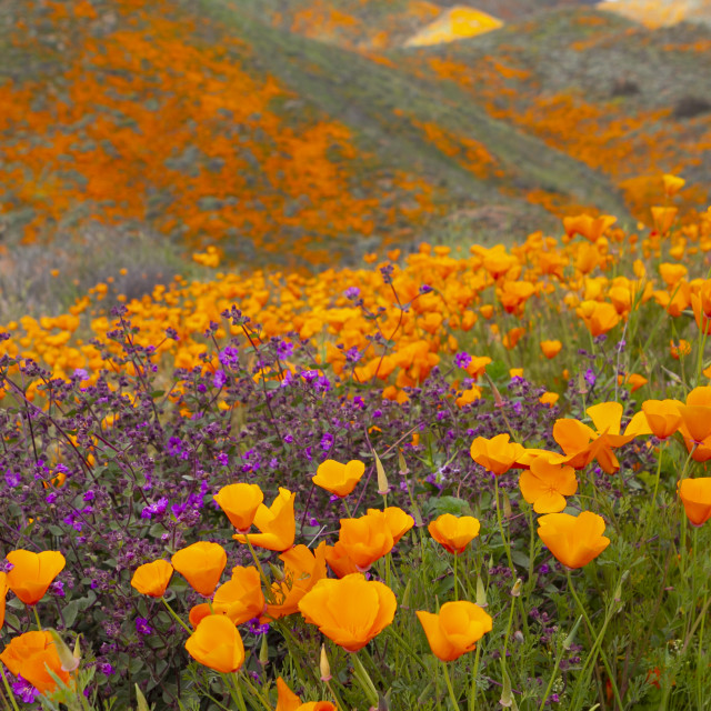 """""""Superbloom of poppies"""" stock image"""