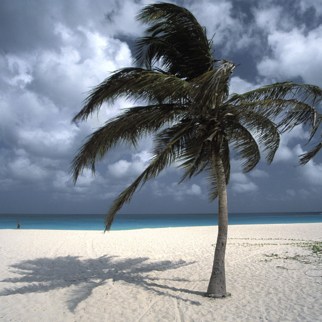 """Palm tree, Eagle beach"" stock image"