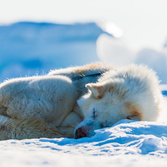 """""""Tired husky dog"""" stock image"""