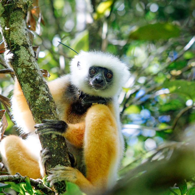 """Lemuren Lemurs at Andasibe Mantadia Nationalpark"" stock image"